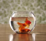 Two Goldfish - Photo by Simon Murphy